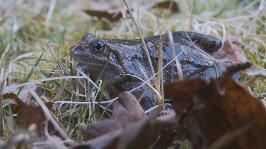 Video Dříve běžní skokani mizí kvůli suchu z české přírody