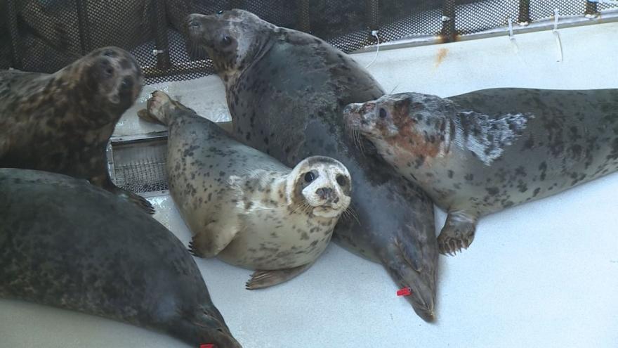 Video Zachránění tuleni se vrátili zpět do moře. Letos se jich vyplavil rekordní počet