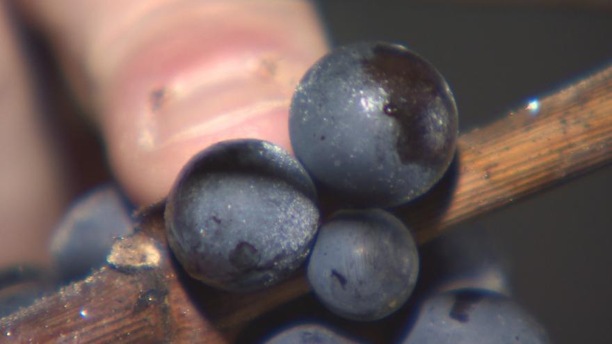 Video Sladkého ledového vína bude kvůli vlhkému podzimu méně. Mnohé vinaře od čekání odradil