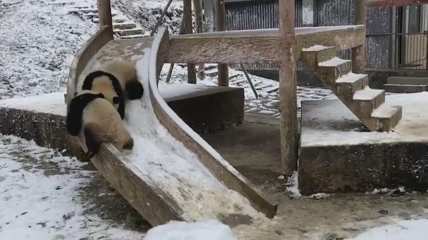"""Video Čínské pandy dováděly ve sněhu. Vyzkoušely skluzavku a hráli """"na babu"""""""