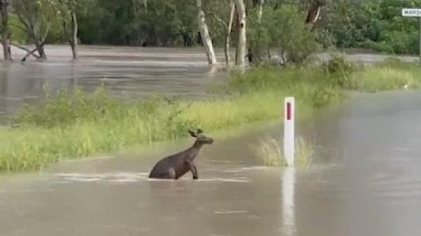Video Klokan musel kvůli záplavám v Austrálii doplavat k silnici a tu přebrodit