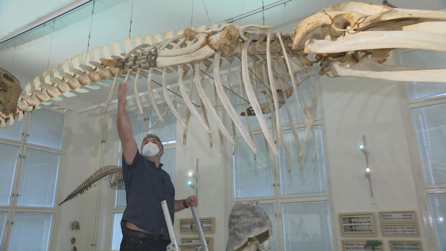 Video Vědci opravili kostru velryby Ilgy v pražském Anatomickém ústavu