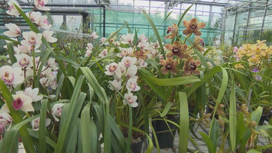 Video Krása v plném rozkvětu. V pražské botanické zahradě vykvetly orchideje
