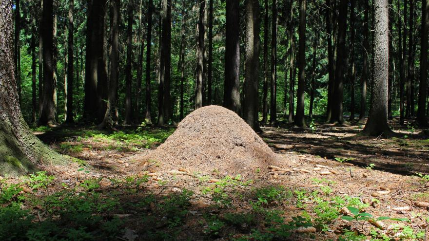 Video Události v regionech: Kůrovec vytlačuje mravence