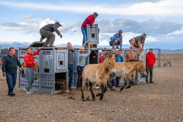 Pražská zoo dopravila do Mongolska další čtyři klisny koně Převalského