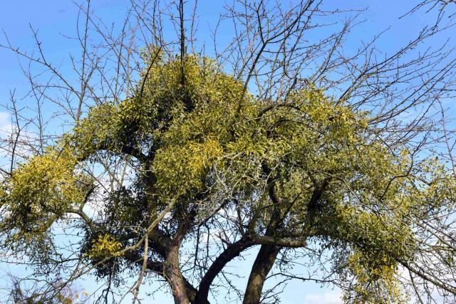 Jmelí je rostlinný poloparazit, který bere životodárnou mízu
