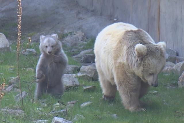 Medvídě plavé v Zoo Hluboká