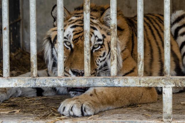 Tygr v Bioparku Štít