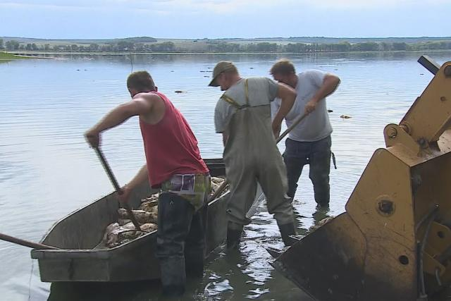 Uhynulé ryby v rybníku Nesyt na Břeclavsku