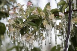 Zmrzlé květy jabloní