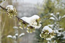 Zasněžené třešňové květy