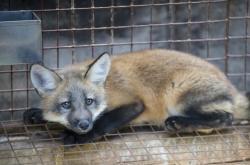 Liška chovaná na kožešinové farmě ve Vítějevsi na Svitavsku