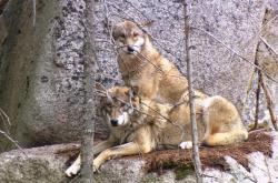 Vlci zachycení fotopastí