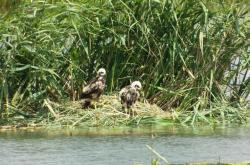 Mláďata motáka pochopa na břehu Pařezného rybníha na Žďársku