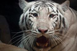 Zabavená samice bílého tygra v liberecké zoo