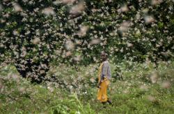 Keňa se potýká s obřím množstvím kobylek