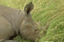 Nemocný nosorožec