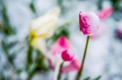 Květiny pokryté popraškem sněhu