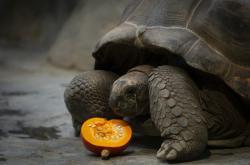 Želva obrovská při krmení, které můžou lidé sponzorovat