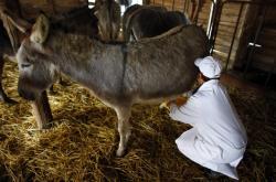 Dojení oslice na farmě v srbské Zasavici