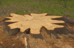 Pokáceny dub v lese na Krnovsku