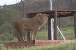 Zachráněný lev v rezervaci v JAR