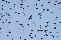 Velcí ptáci latino