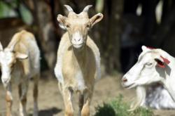 Kozy na Kozí farmě ve Vizovicích