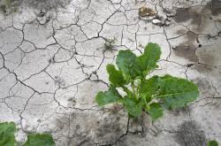 Suchá půda pole s řepou