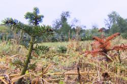 Sucho postihlo i pěstitele vánočních stromů
