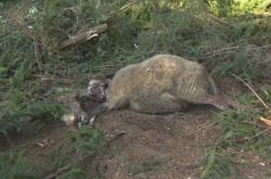 Mrtvá ovce u Jarcové