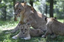 Lvíčata v Zoo Brno