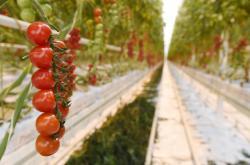 Rajčata ve skleníku