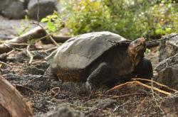 Želva Fern - zřejmě poslední svého druhu na Zemi