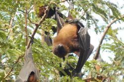 Spící netopýři