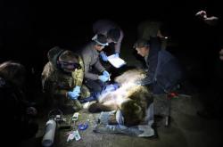 Ochránci přírody odchytili samici medvěda