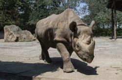 Jeden z převážených nosorožců ze zoo Dvůr králové