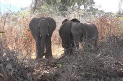 Sloni v Zambii