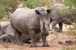 Nosorožec v Zambii