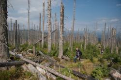 Přirozená obnova lesa na Šumavě