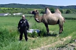 Odchytová služba se musela vypořádat i s velbloudem