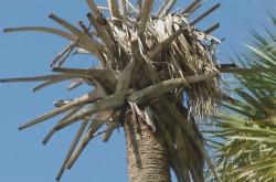 Palma napadená takzvaným smrtícím hnědnutím