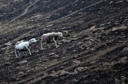 Ovce jdou po spálené australské zemi