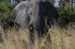 Slon v Botswaně