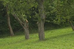 Ořechy upomínající na Lidice