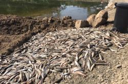 Otrávené ryby u řeky Bečvy