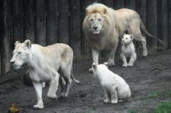 Hlavním lákadlem hodonínské ZOO jsou netradičně zbarvení lvi (na snímku z prosince 2020)