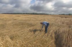 Špatné počasí a podmáčená půda komplikuje sklizeň zemědělských plodin