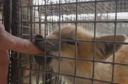 Liška v novosibirském genetickém institutu