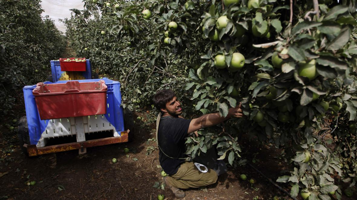 Sběr jablek v Izraeli